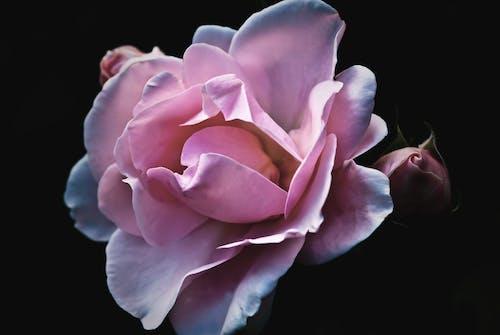 คลังภาพถ่ายฟรี ของ กลีบดอก, กำลังบาน, ดอกกุหลาบ, ดอกตูม