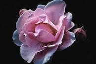petals, flower, roses