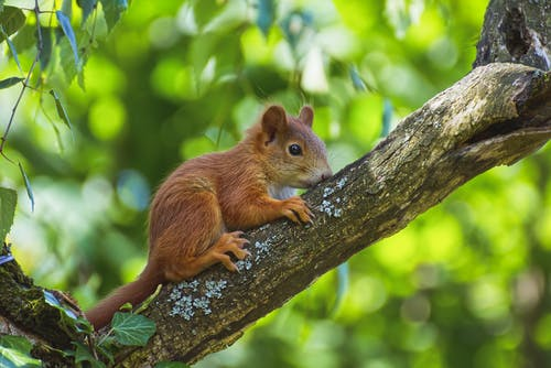 Close-Up Shot of a Brown Squirrel on a Tree Branch