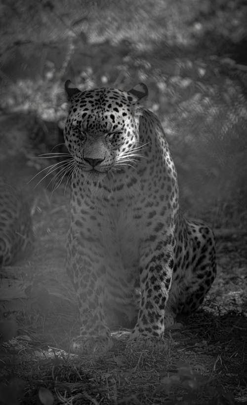 Grayscale Photo of a Leopard