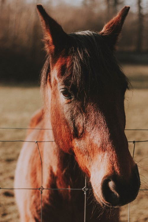 Chestnut horse with smooth coat behind metal fence in farmyard in soft sunlight on blurred background