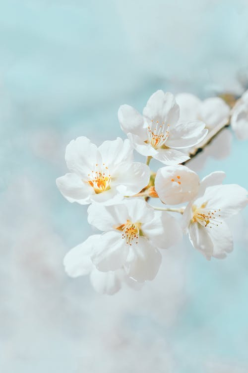 Blooming cherry tree with white flowers