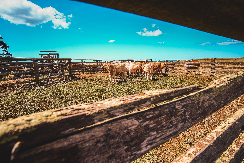 Ảnh lưu trữ miễn phí về bầu trời, bò, chăn nuôi, cỏ