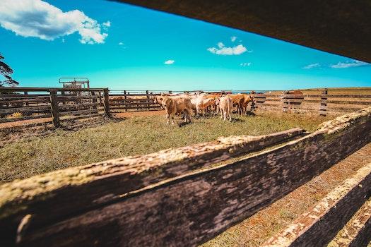 Herd Of Cows In Farm