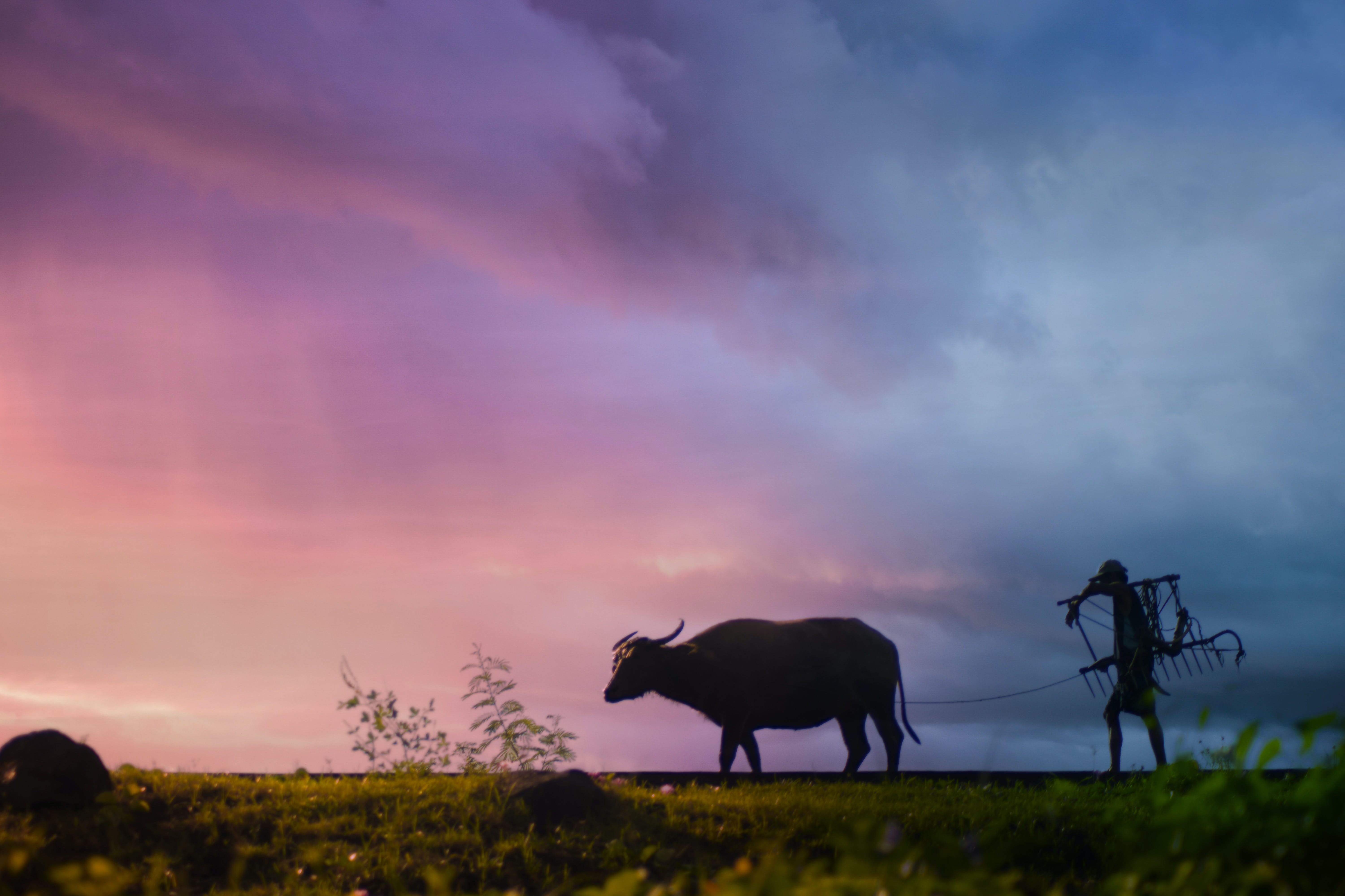 Silhouette of Man Carrying Plow While Holding the Rope of Water Buffalo Walking on Grass Field