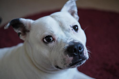 Free stock photo of dog, staffy, terrier