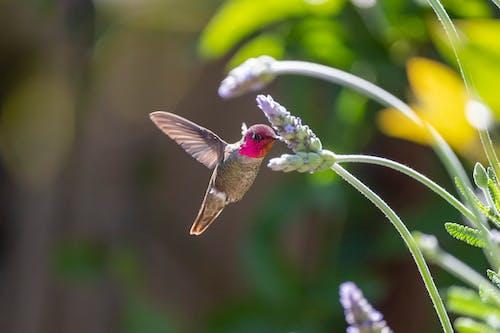 Free stock photo of animal, anna s hummingbird, bee