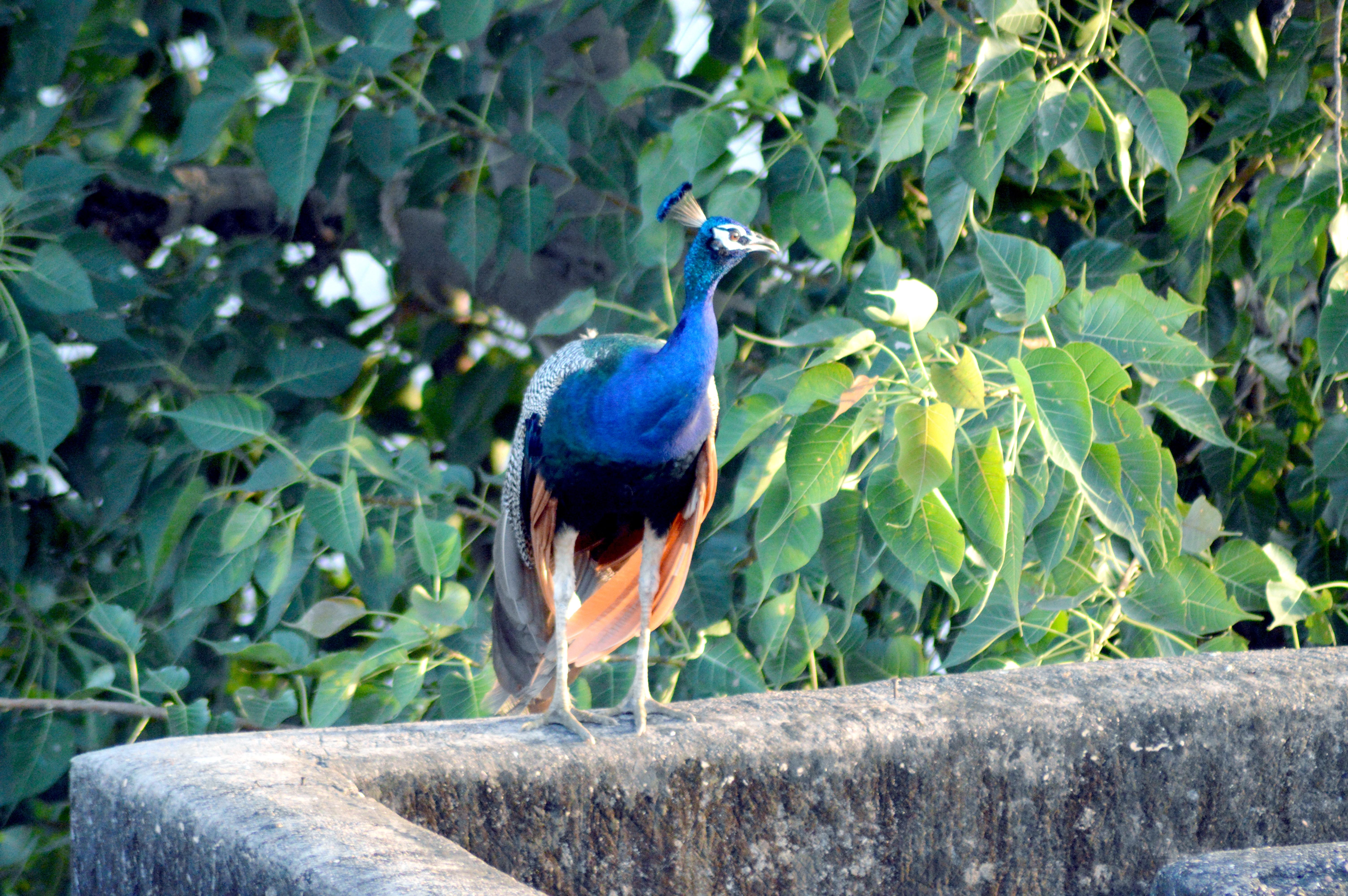 Blue peacock standing near tree