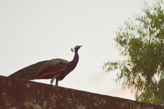 Peacock on Concrete Surface
