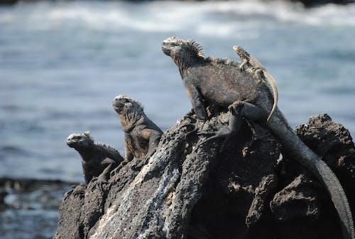 Free stock photo of marine iguanas