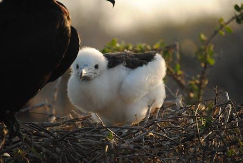 Free stock photo of baby frigate bird