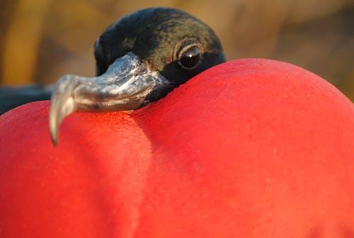 Free stock photo of frigate bird galapagos