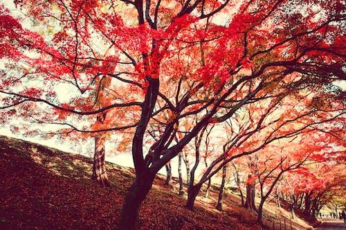 Immagine gratuita di acero, alba, alberi, ambiente