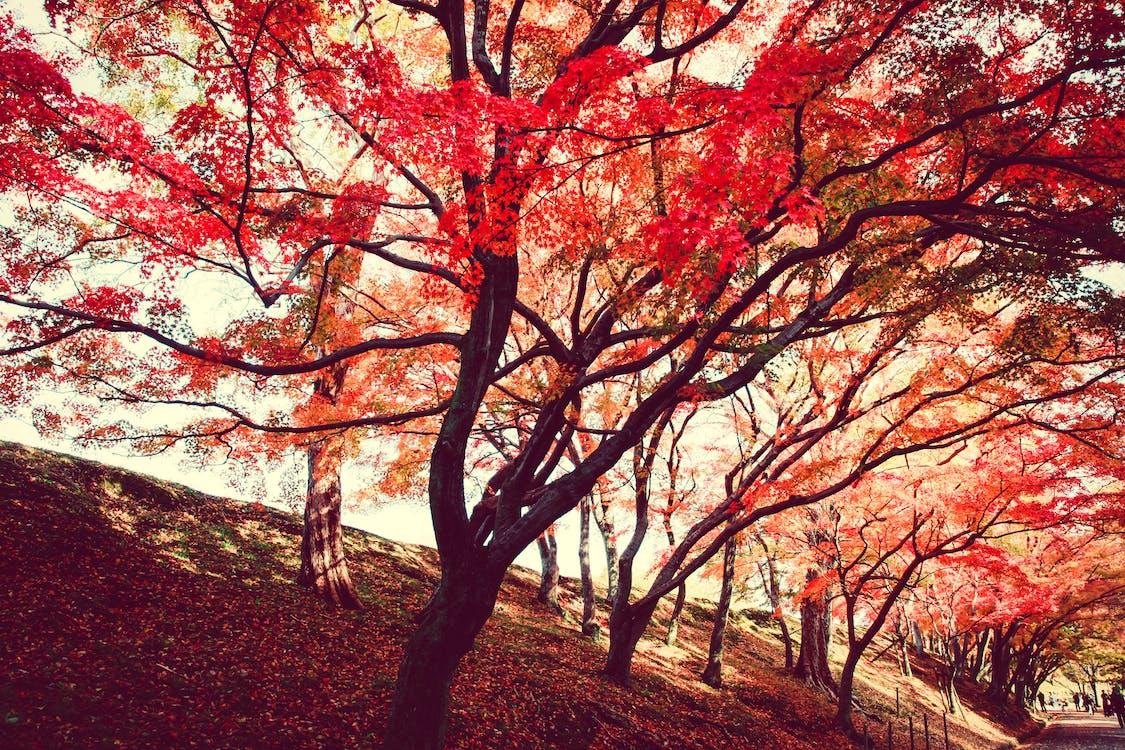 efterår, efterårsblade, efterårsfarver