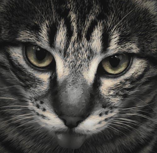Free stock photo of animal eye, beautiful animal, big cat