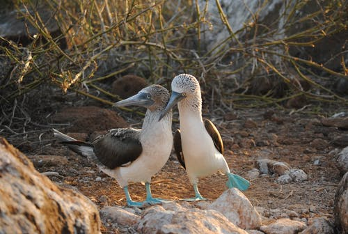 Free stock photo of blue footed boobies