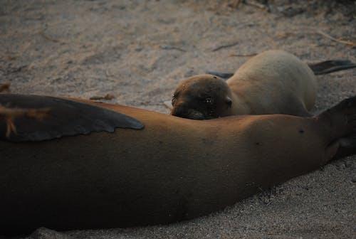 Free stock photo of sea lion pup