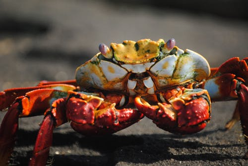 Red and Yellow Crab on Black Sand