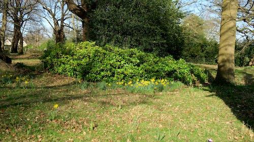 Free stock photo of daffodils, english, garden