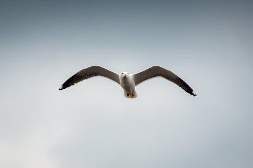 Gratis lagerfoto af flyrejse, flyve, måge, vinger