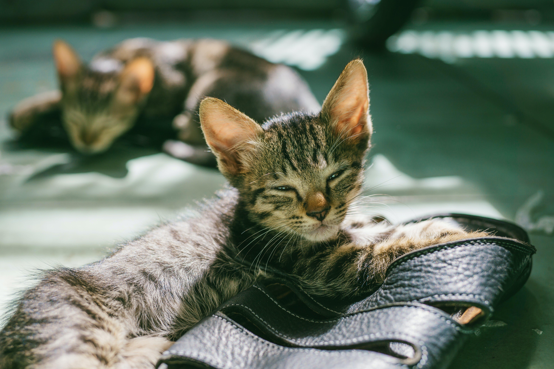 Δωρεάν στοκ φωτογραφιών με αιλουροειδές, βλέπω, γατάκι, γάτες