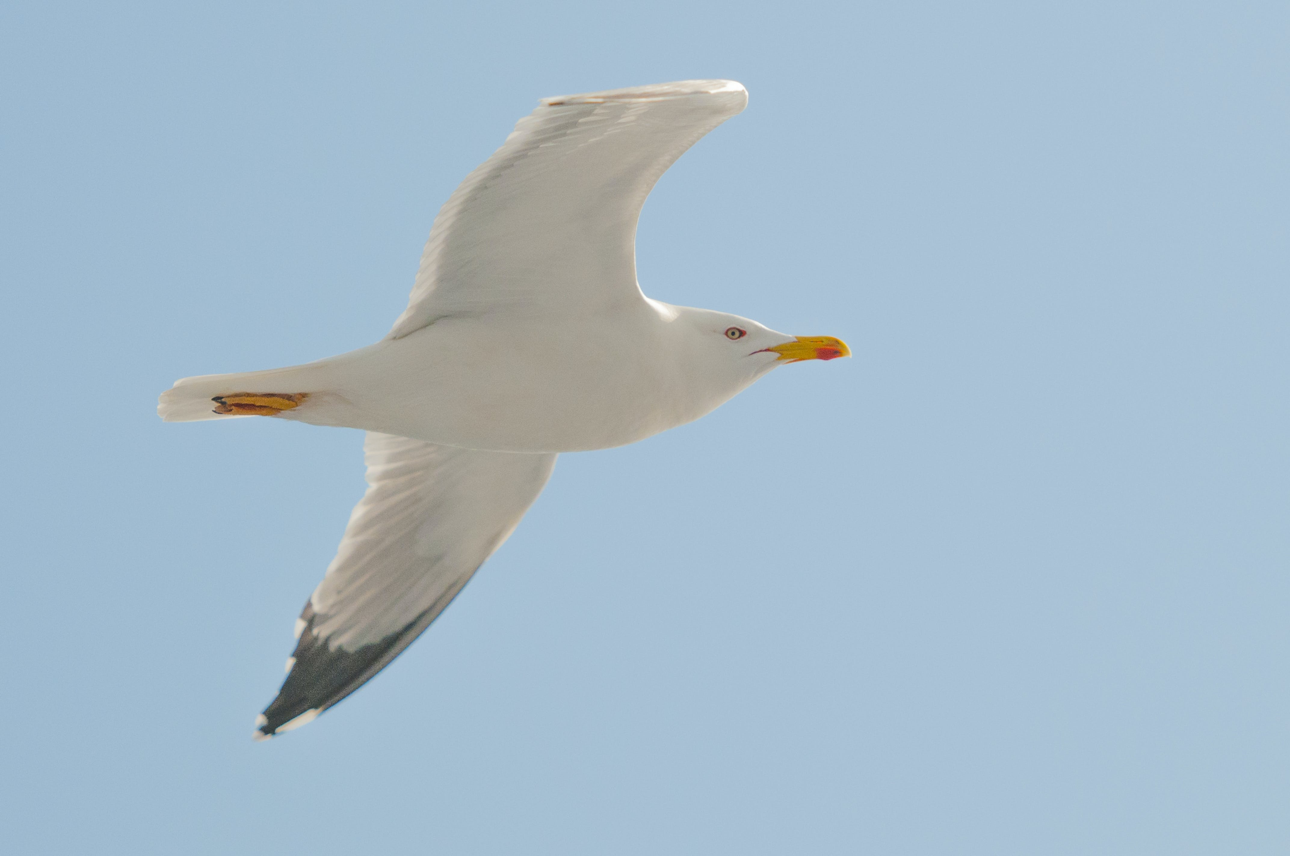 White Seagull Flying Under Clear Blue Sky