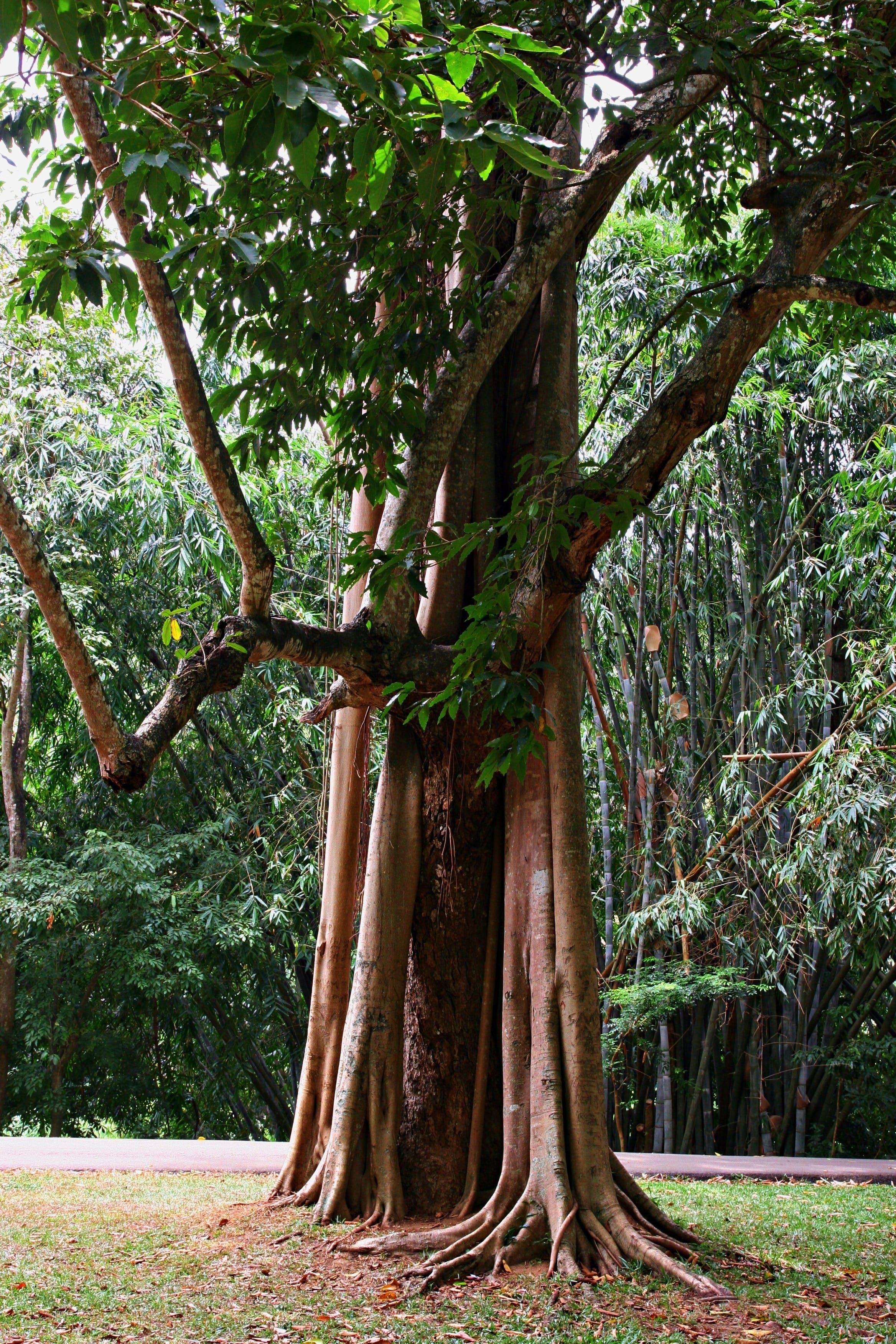 Základová fotografie zdarma na téma dešťový prales, dřevo, džungle, kořen
