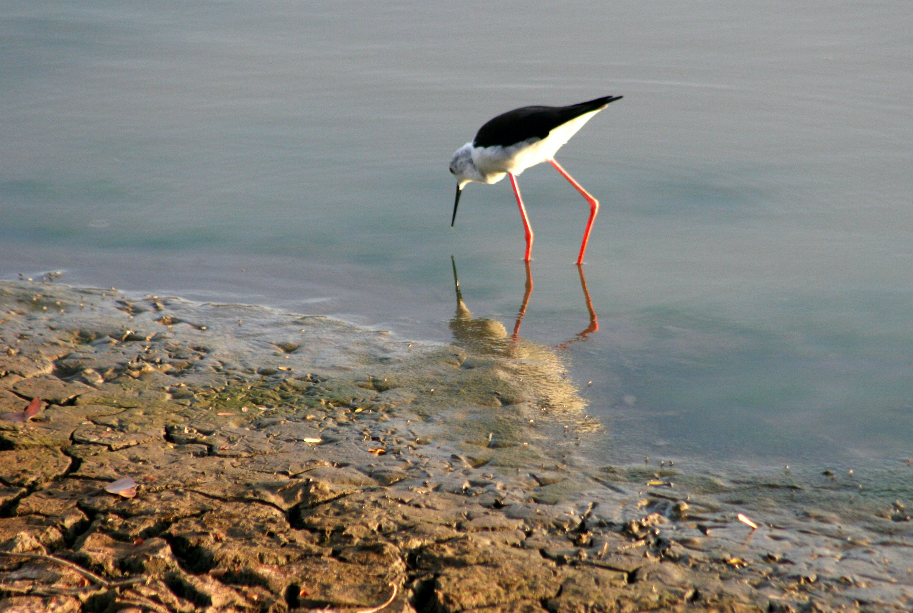 White and Black Long-beaked and Long Legged Bird on Body of Water Photography
