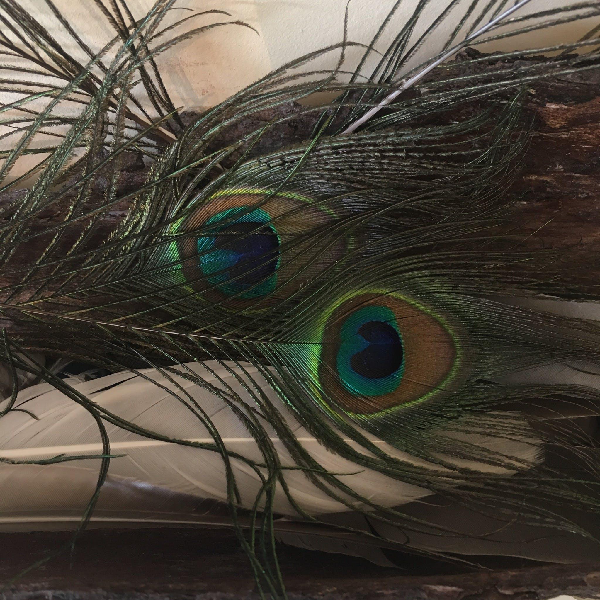 Základová fotografie zdarma na téma paví peří, pírko