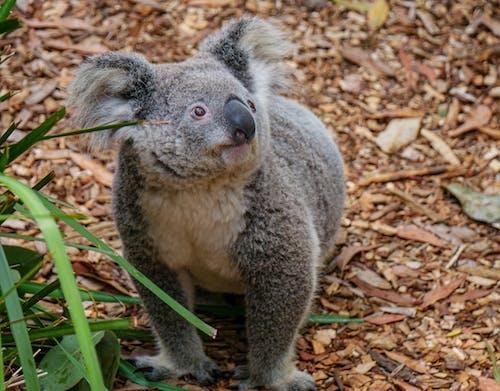 Adorable Koala Bear