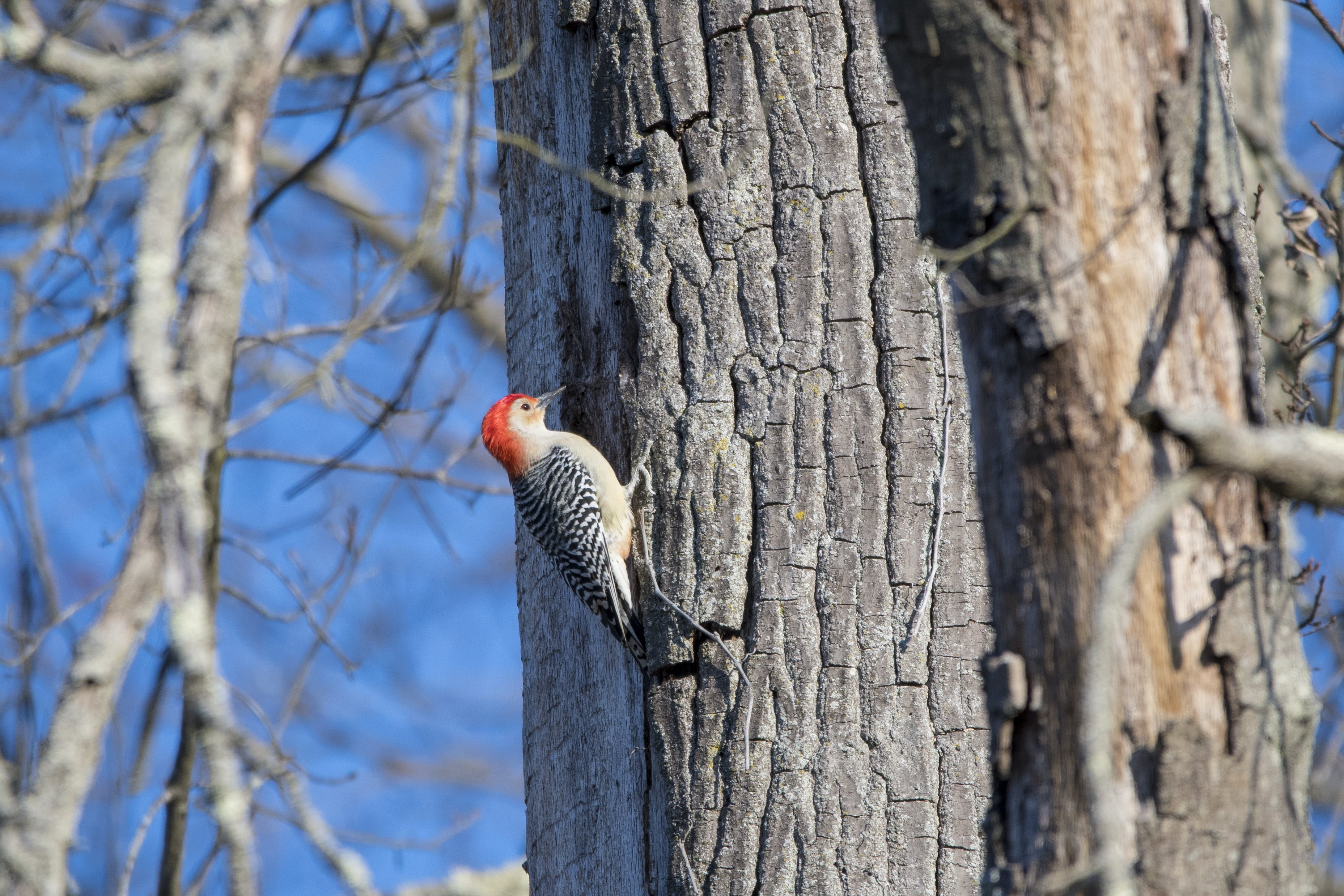 Gray and Red Woodpecker