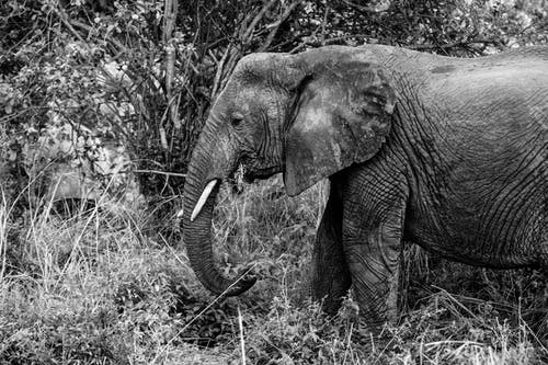 Elephant with loose skin walking on grassland in savanna