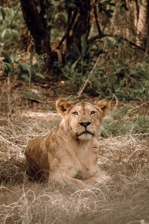 Strong lion with brown coat lying on golden grass while looking away in savanna in daytime