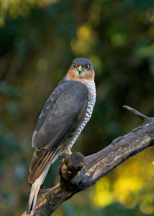Graceful Accipiter nisus bird sitting on tree branch in woods