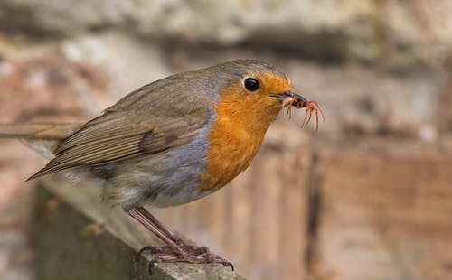 Hungry Erithacus rubecula bird eating insect in nature