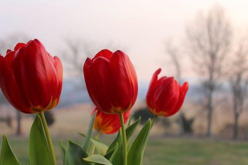 Gratis lagerfoto af forkølelse, gul, hollandsk, rød