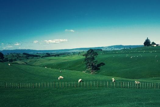 White Furred Animals on Green Grass Field