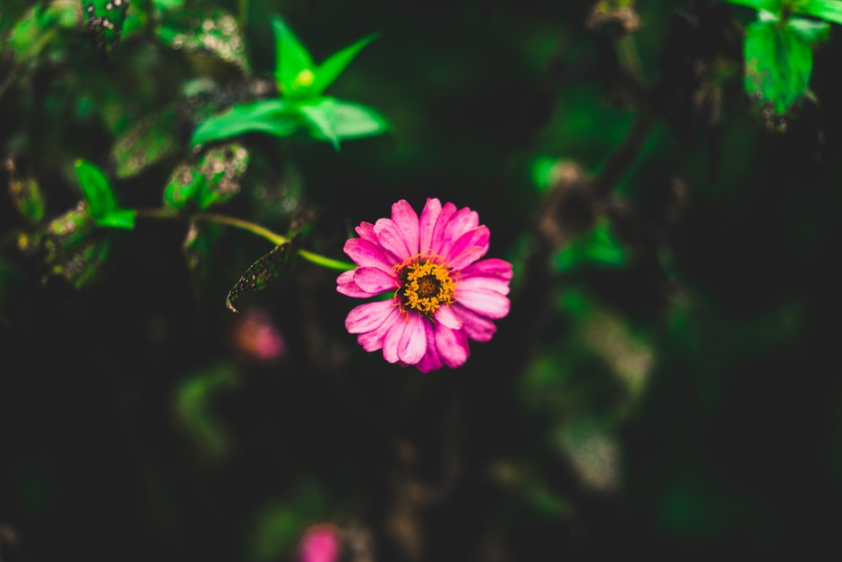 Tilt Shift Photography of Pink Zinnia Flower
