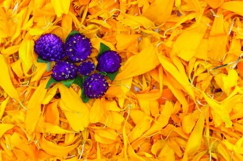 Fotobanka sbezplatnými fotkami na tému cempasuchil, farebný, krása, kvet
