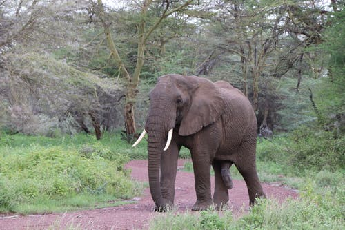 Brown Elephant Walking on Dirt Road Near the Green Trees