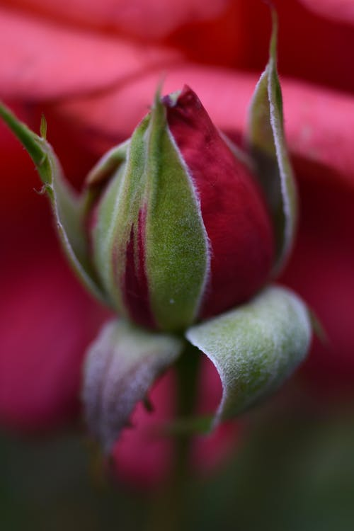 Rose bud with red petals and green leaves
