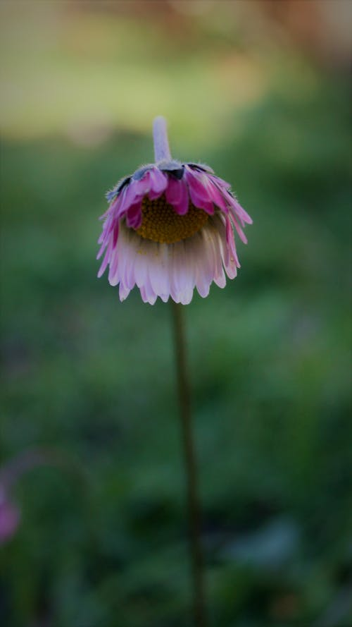 Imagine de stoc gratuită din bellissimi fiori, fiore, natura, petali