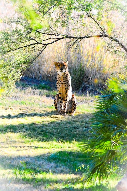 Free stock photo of animal, animals, cheetah