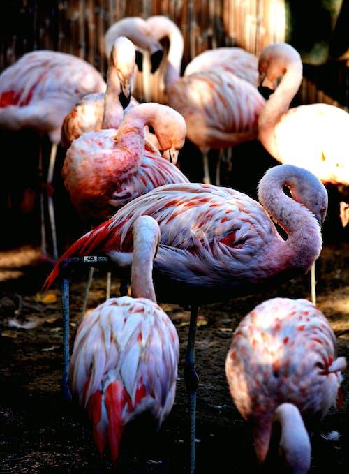 Free stock photo of birds of paradise, feathers, flamingo