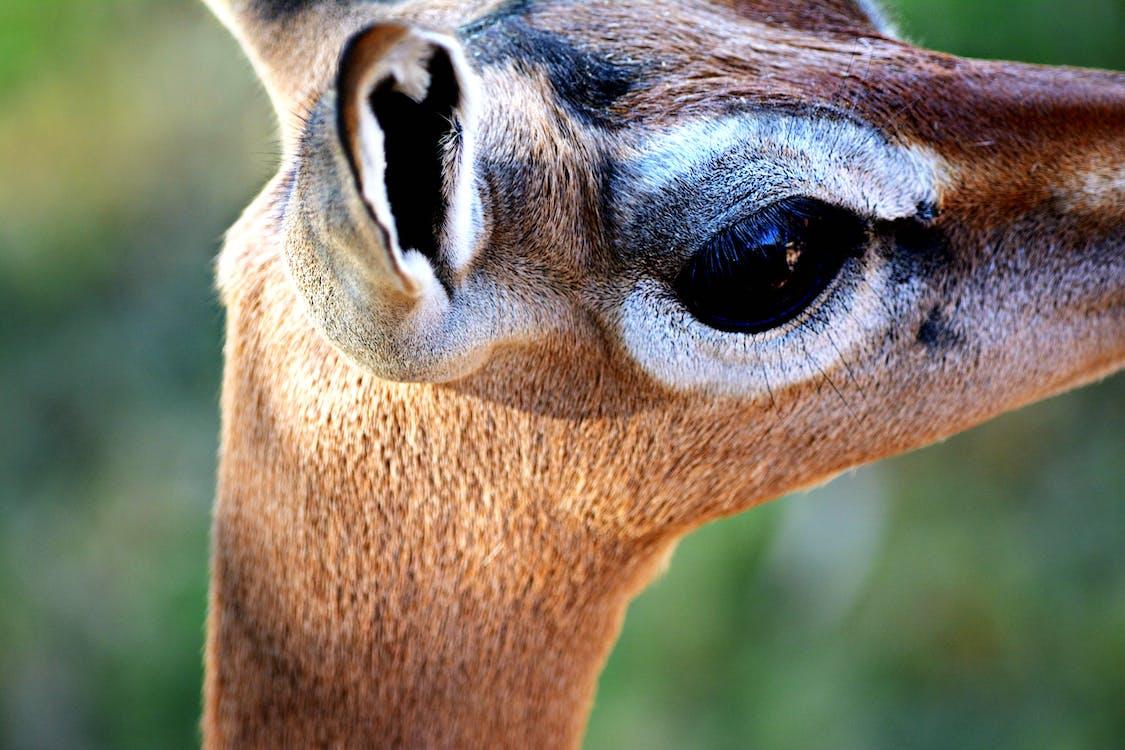 Free stock photo of antelope, bigeyes, deer