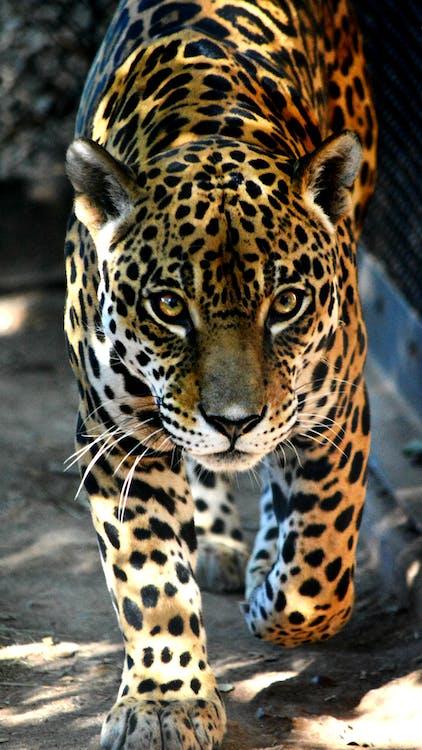 Free stock photo of bigcat, bigcats, jaguar