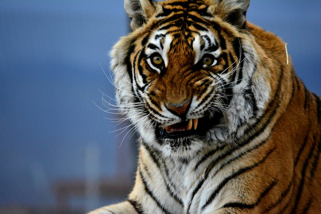 Close Photo of Orange Tiger Smiling