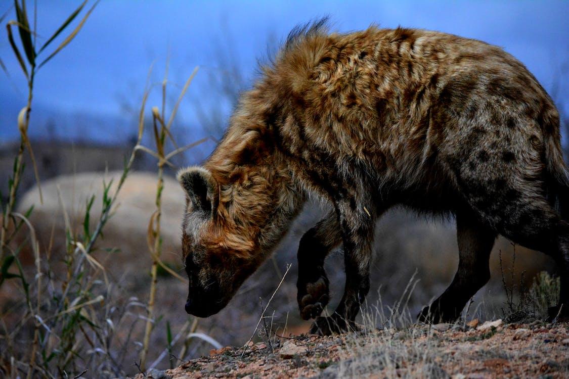 Free stock photo of africa, africananimals, hyena