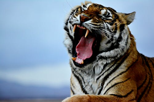 Free stock photo of bigcat, bigcats, bigteeth