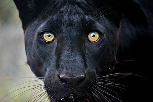 Free stock photo of africananimals, bigcat, bigcats